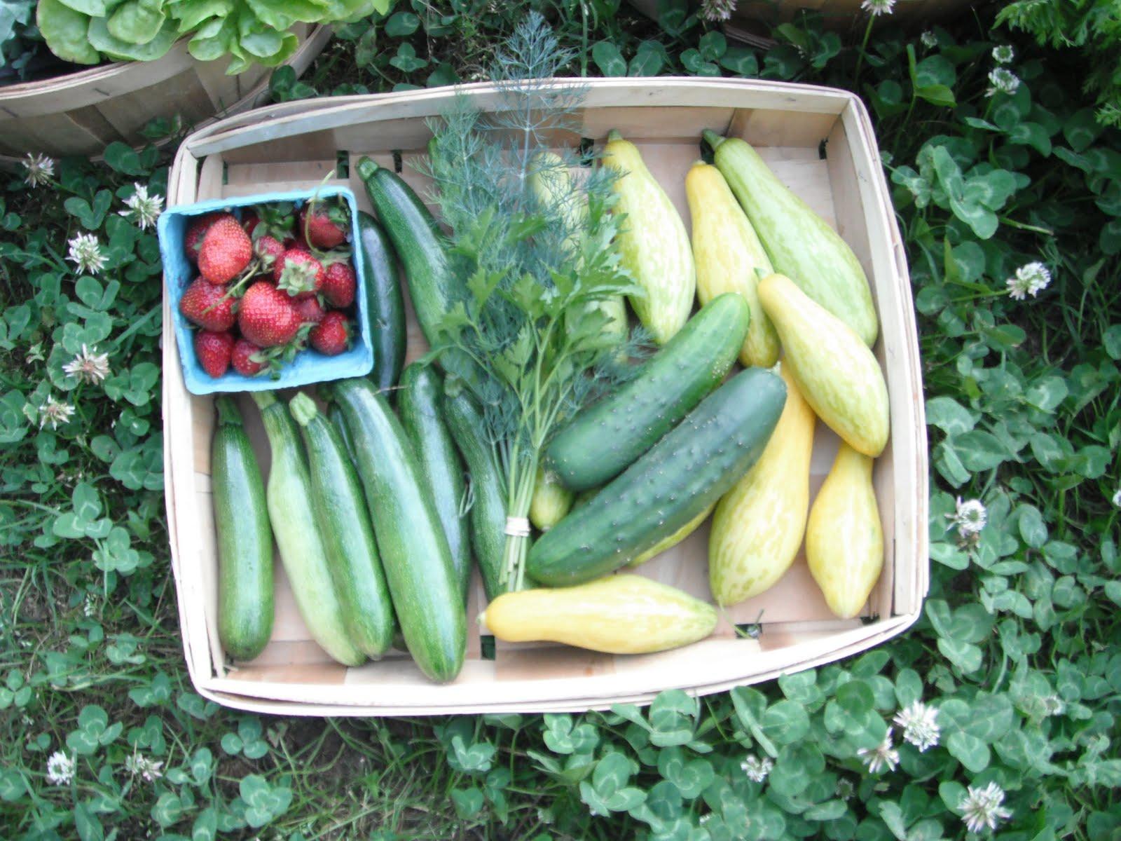 zephyr squash in good heart farm